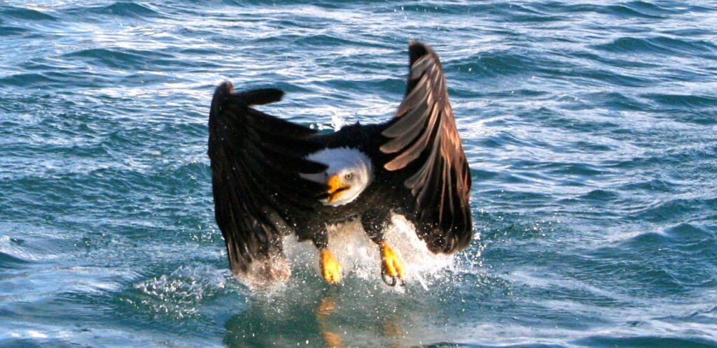 Shamanic Animal encounters bald eagle skimming the surface of water